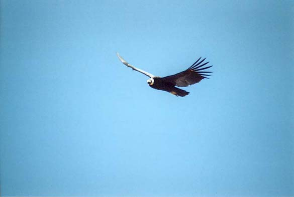 One of the condors that 600 tourists hope to see in the Colca Canyon every day