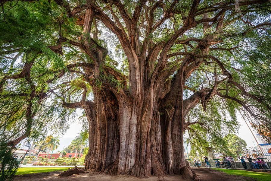The widest tree in the world