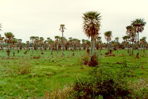 A field of palm trees (<i>Copernicia alba</i>) in the Lower Chaco, Paraguay