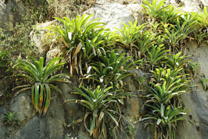 Epiphytes in the La Leche basin, Lambayeque, Peru