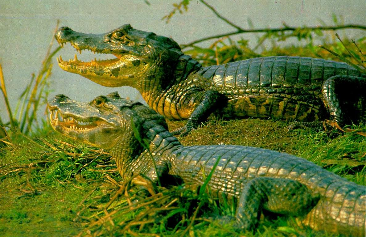 Caiman is the largest wetland in the world