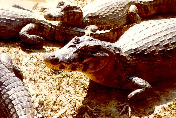 A group of caimans on the Pantanal of Mato Grosso, near the Transpantaneira Road, south of Cuiaba, Brazil.