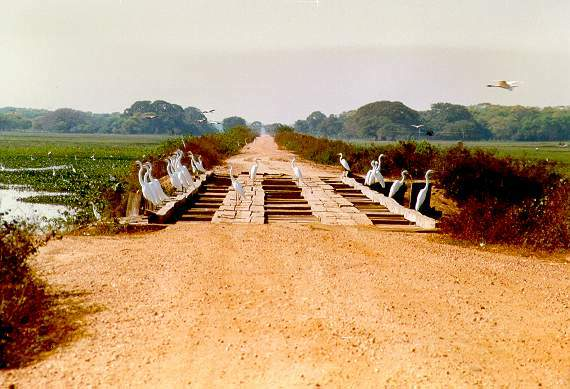 One of more than 200 wooden bridges along the 240-km Transpantaneira Road, Mato Grosso, Brazil.