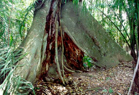 A large rainforest tree, conditioned for survival on the floodplains (varzeas)of the Rio Mamore, <br>department of Beni, Eastern Bolivia.