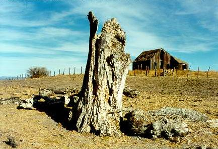 A dead poplar or alamo(Populus fremontii),relic of a vanished wetland, at Rancho Ojos Negros in the Ojos Negros valley, Baja California