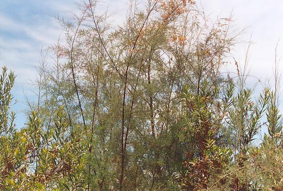 A specimen of saltcedar [pino salado], growing along the banks of the Tecate river, downstream of RP-5.