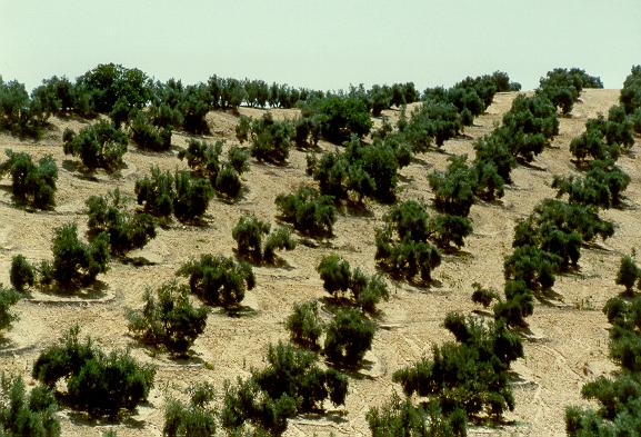 Olive grove in Andalucia, Spain, showing saucer basins to contain precipitation