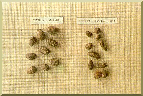 Tubers of C. esculentus grown on different substrates: sandy at left and silty-sand at right